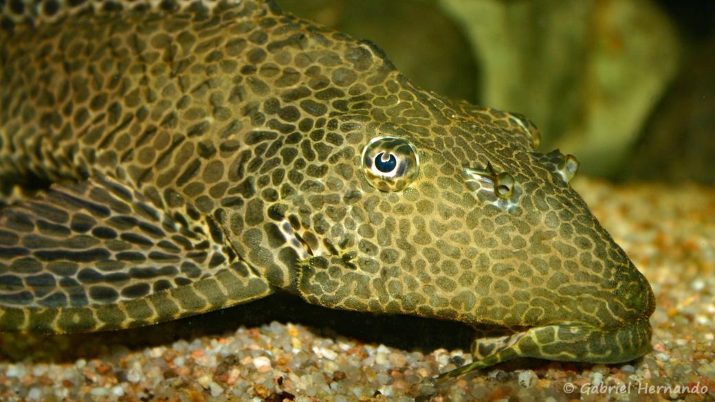 Pterygoplichthys gibbiceps (club aquariophile de Vernon, juillet 2007)