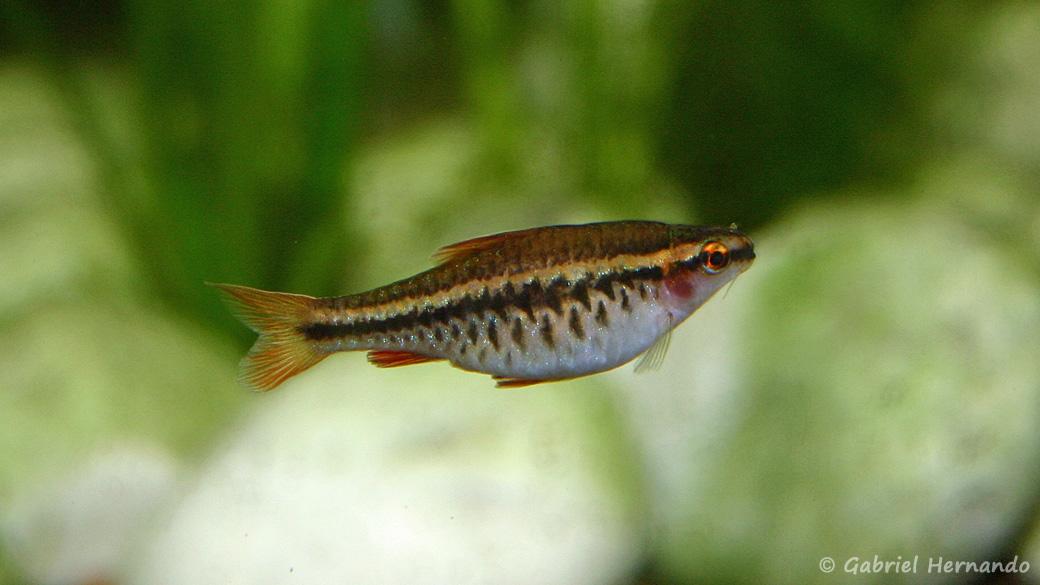 Femelle Puntius titteya (club aquariophile de Vernon, juin 2004)