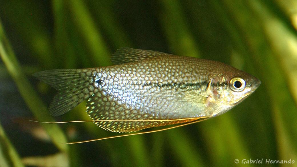 Trichopodus leerii (club aquariophile de Vernon, juin 2004)