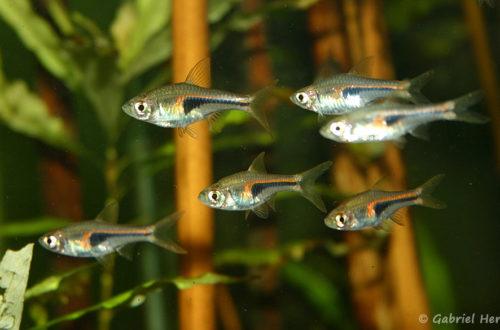 Trigonostigma hengeli (club aquariophile de Vernon, mars 2005)