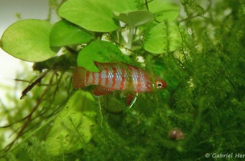 Dario dario (Club aquariophile de Vernon, janvier 2005)
