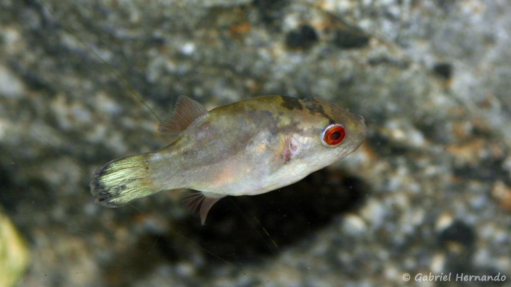 Carinotetraodon lorteti (Zoo Jazac, Duisbourg, Allemagne, mars 2011)