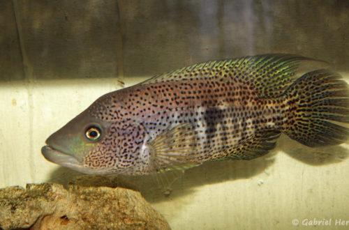 Parachromis dovii (Hobby Zoo Tillman, Duisbourg, mai 2014)