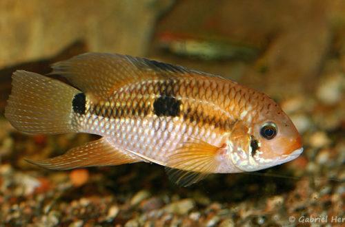 Aequidens patricki (club aquariophile de Vernon, juin 2013)
