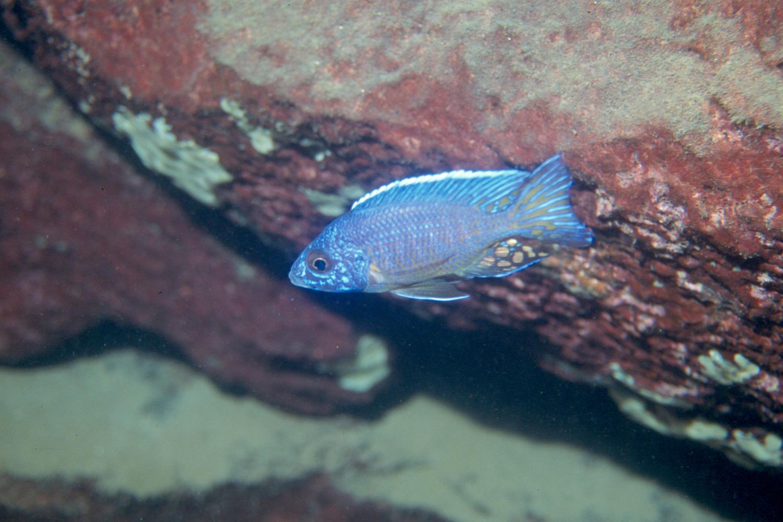 Aulonocara stuartgranti, mâle in situ à Lion's Cove