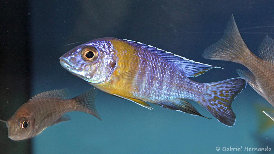 Aulonocara stuartgranti, mâle de la variété de Chitimba (le Maulana)