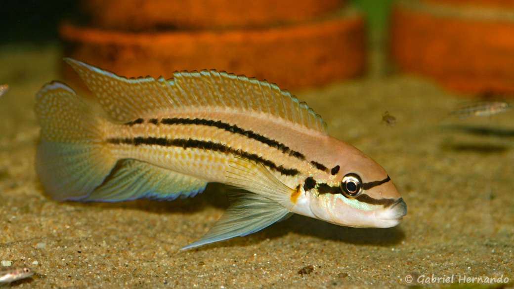 "Chalinochromis sp. ""bifrenatus"" (Aquabeek, Pays-Bas, mars 2009)"