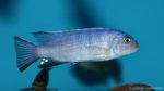 Chindongo cyaneus mâle (Aqua Treff, Meerbusch, Allemagne, mars 2009)