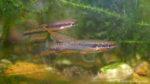 Chromaphyosemion bitaeniatum (Aqua'Club de Trouville Sur Mer, juin 2007)