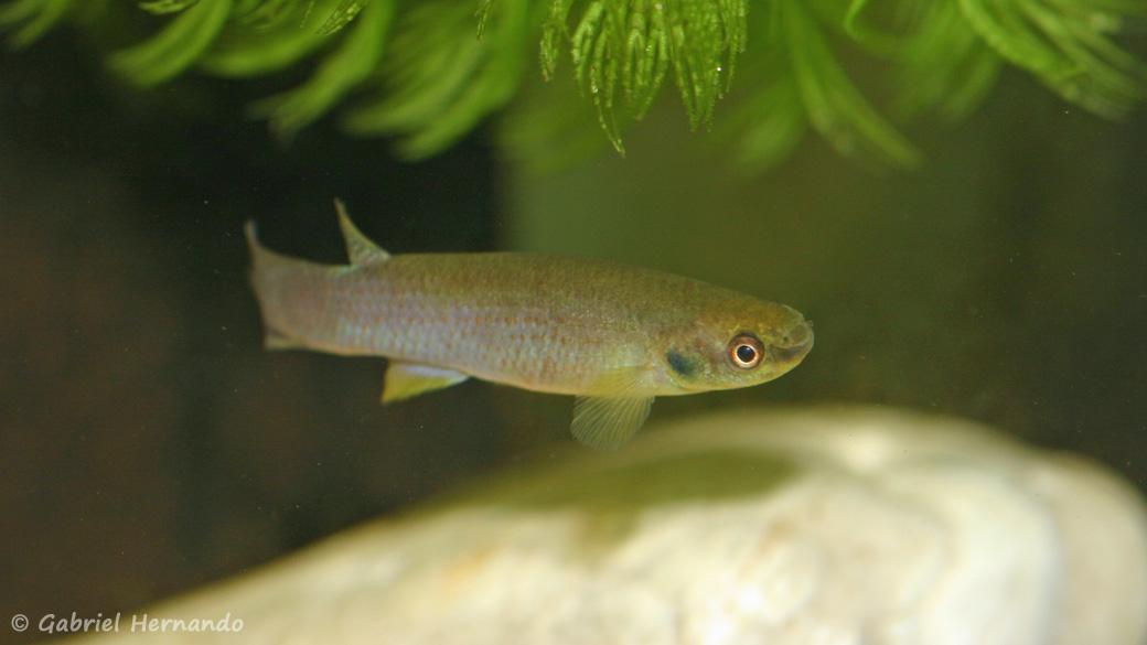 Cynodonichthys tenuis, variété La Ceiba, au Honduras (Aquario'Club des Portes de l'Eure, juin 2010)