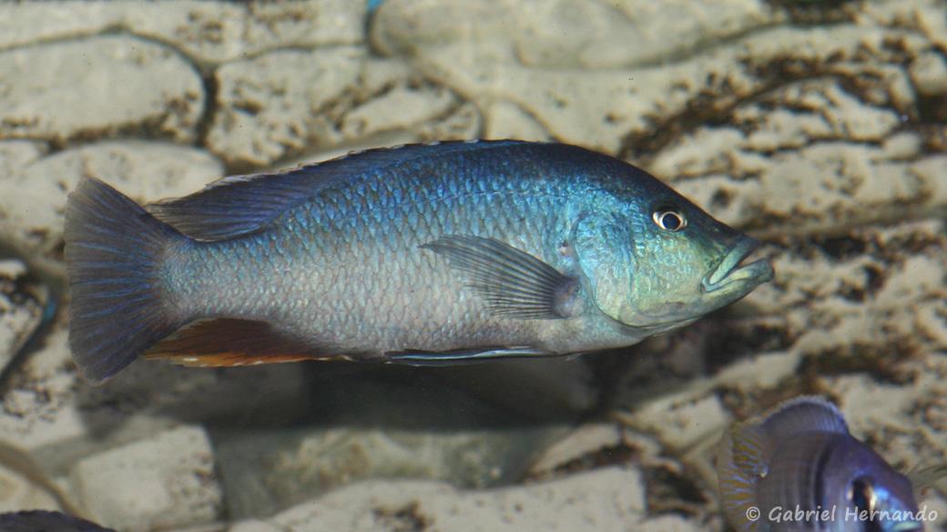 Dimidiochromis kiwinge (Aqua Treff, Meerbusch, mars 2011)