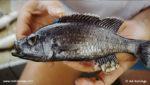 Diplotaxodon argenteus (Ad Konings)