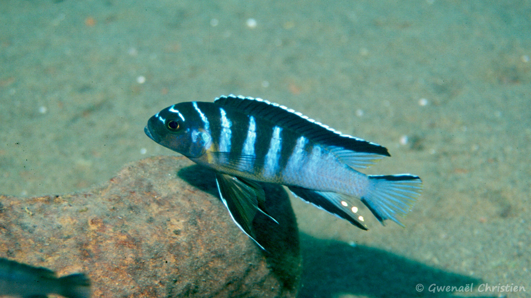"Cynotilapia sp. ""elongatus Chitimba"", in situ à Chitimba (profondeur 22 m)"