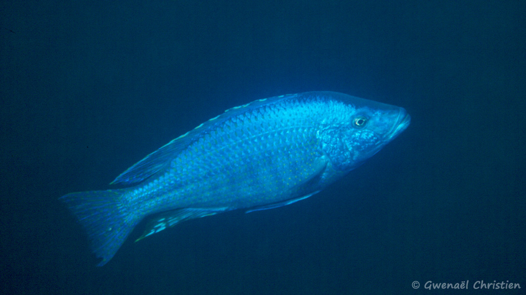 Dimidiochromis kiwinge, in situ à Charo