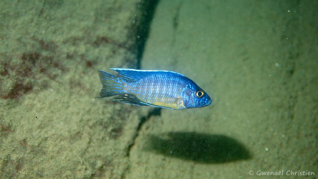 Aulonocara stuartgranti in situ à Nkhata Bay