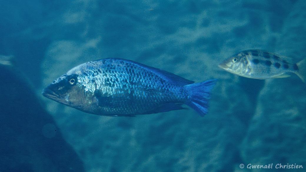 Fossorochromis rostratus, in situ à Masinje