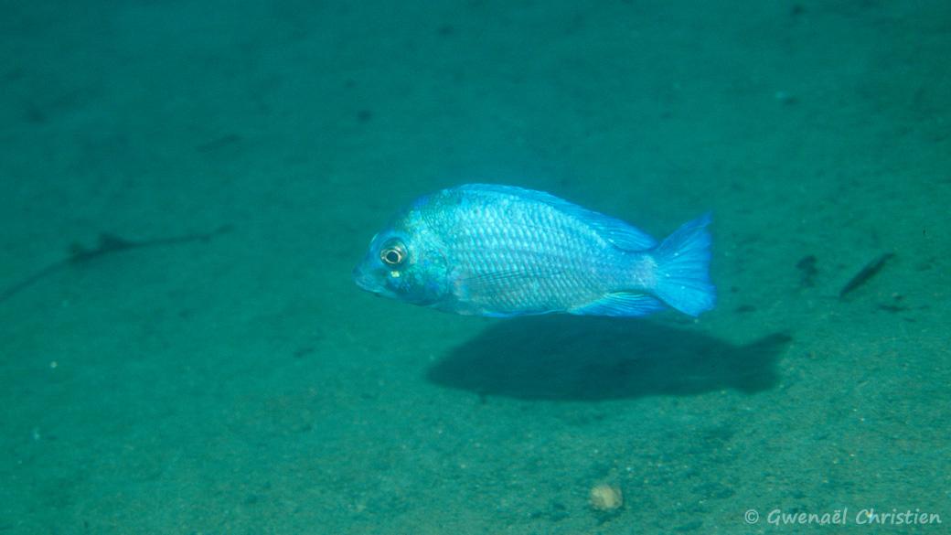 """Placidochromis sp.""""phenochilus gissel"""", in situ à"""