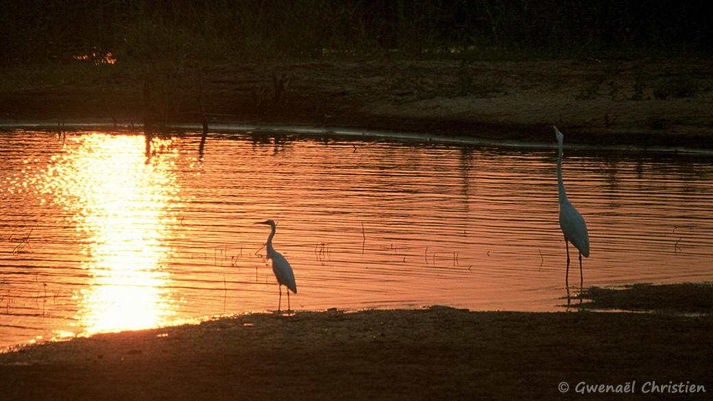 Aigrettes à la tombée de la nuit, sur la lac Malawi