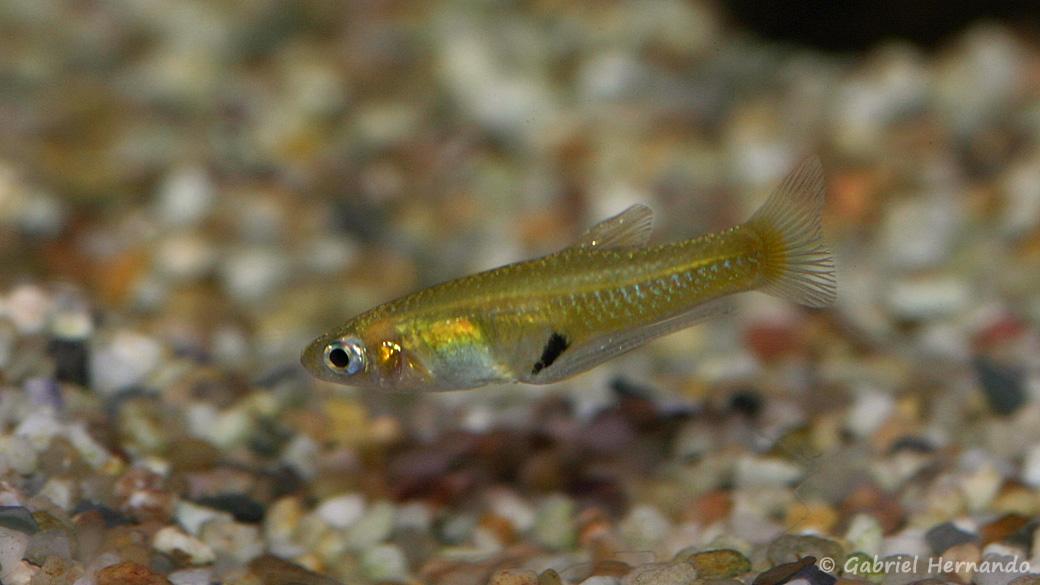 Girardinus uninotatus, mâle (Aquabeek, Pays-Bas, mars 2011)