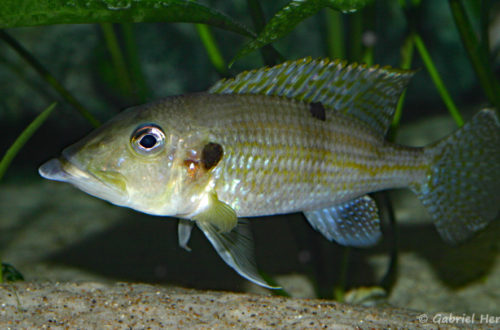 Gnathochromis permaxillaris (octobre 2010)