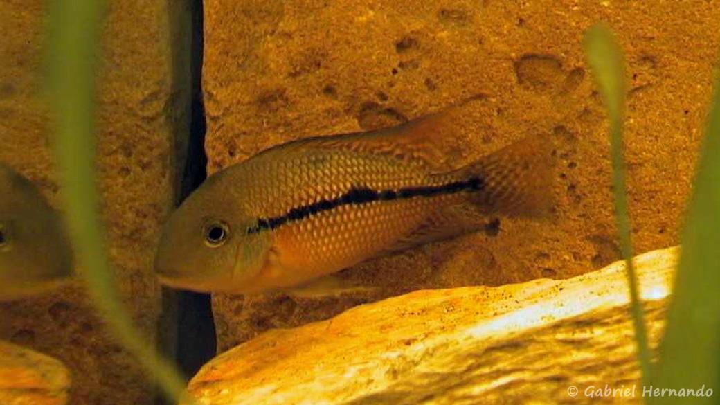 Hypsophrys nicaraguensis (club aquariophile de Vernon, juin 2000)