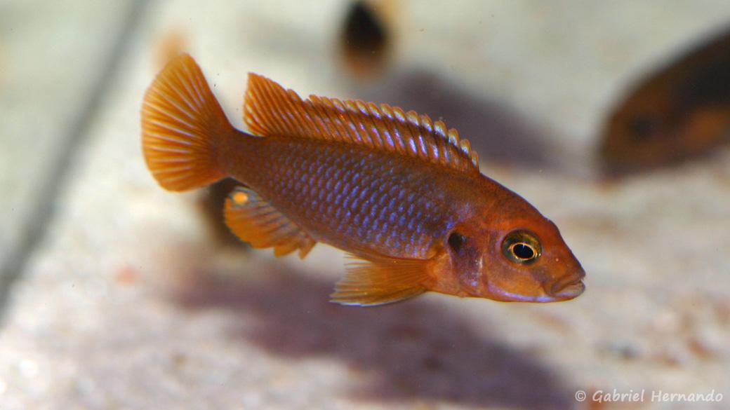 Iodotropheus sprengerae (Aqua Treff, Meerbusch, Allemagne, mars 2011)