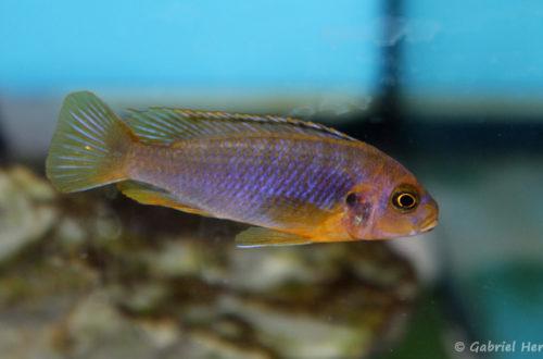 Iodotropheus sprengerae (Aqua Treff, Meerbusch, Allemagne, mai 2014)