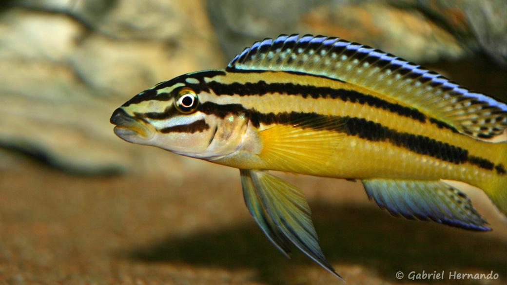 Julidochromis marksmithi (Club aquariophile de Vernon, mai 2006)