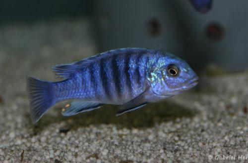Labidochromis freibergi (Abysse, janvier 2009)