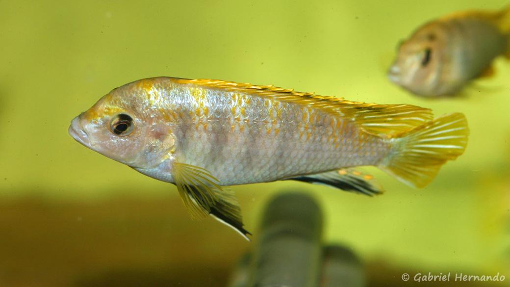 "Labidochromis sp. ""Perlmutt"", mâle (Aquabeek, Handel, Pays Bas, mars 2009)"