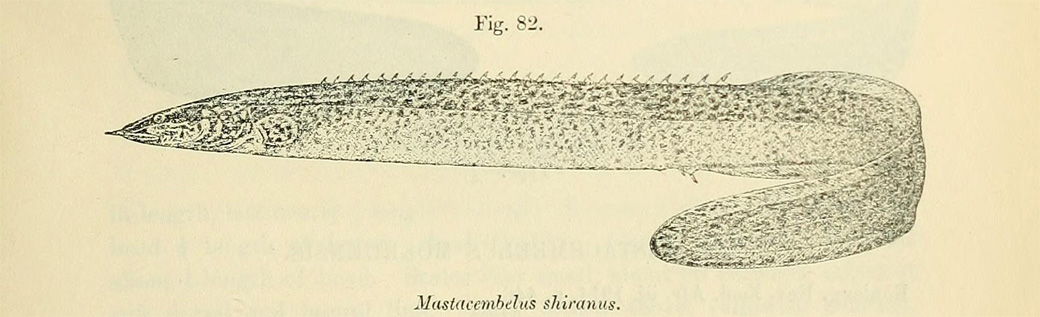 "Illustration de Mastacembelus shiranus, extraite de ""Catalogue of the fresh-water fishes of Africa in the British Museum"" (Natural History), par Boulenger 1909"