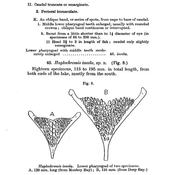 Extrait de la description originale de Haplochromis incola E Trewavas, 1935