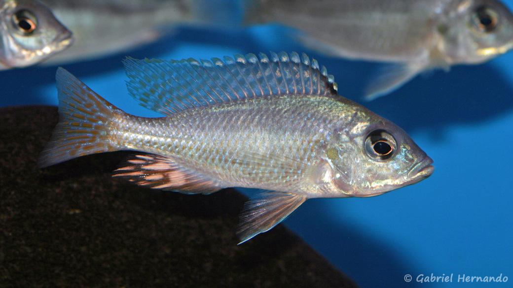 Mylochromis incola (Aqua Treff, Meerbusch, mars 2011)