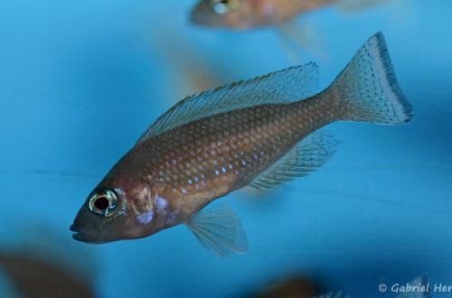 Neolamprologus leloupi (Aqua Treff, Duisbourg, février 2012)