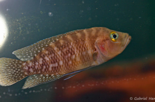 Neolamprologus obscurus (Aqua Treff, Duisbourg, mai 2013)