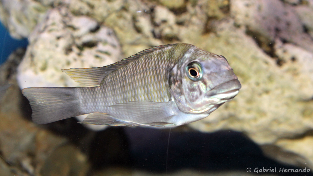 Petrochromis daidali (Aqua Treff, Duisbourg, mai 2014)