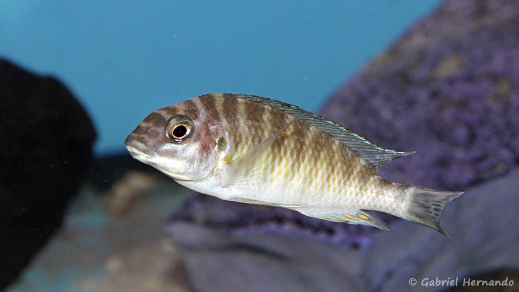 Petrochromis orthognathus (Aqua Treff, Duisbourg, mai 2014)