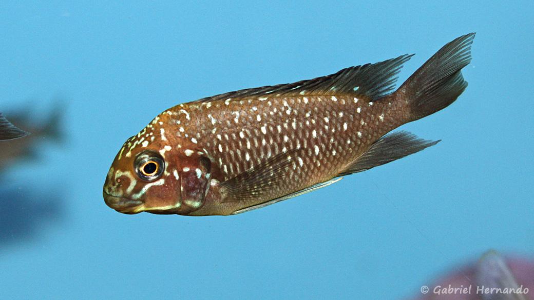 Petrochromis trewavasae (Aquabeek, Pays Bas, mai 2014)