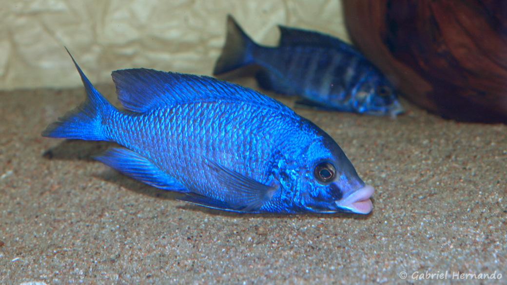 Placidochromis phenochilus, variété de Mdoka (chez moi, avril 2009)