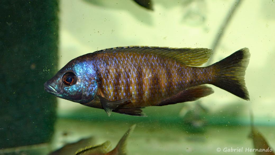 "Placidochromis sp. ""mbamba"" (Aquabeek, Handel, Pays Bas, mars 2001)"