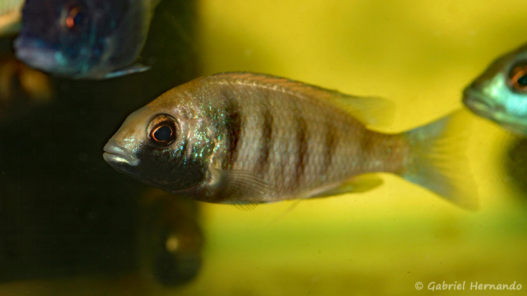 "Placidochromis sp. ""phenochilus gissel"" (Aquabeek, Handel, Pays Bas, mars 2009)"