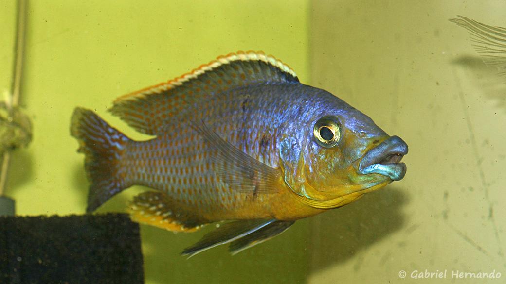 "Protomelas sp. ""Mbenji thick lip"" (Aquabeek, Pays Bas, mars 2009)"