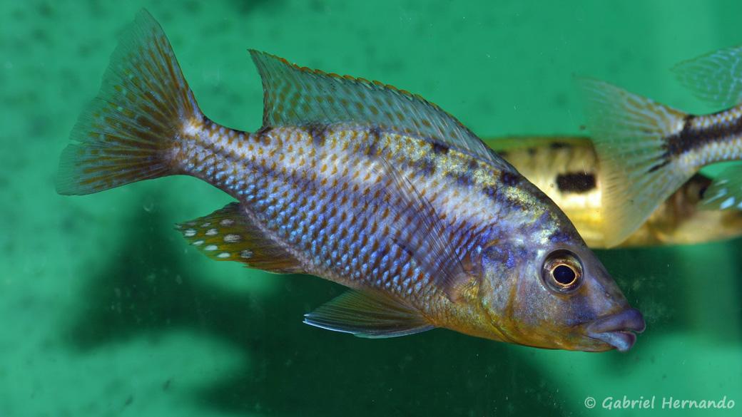 "Protomelas sp. ""Mbenji thick lip"" (Abysse, mars 2008)"