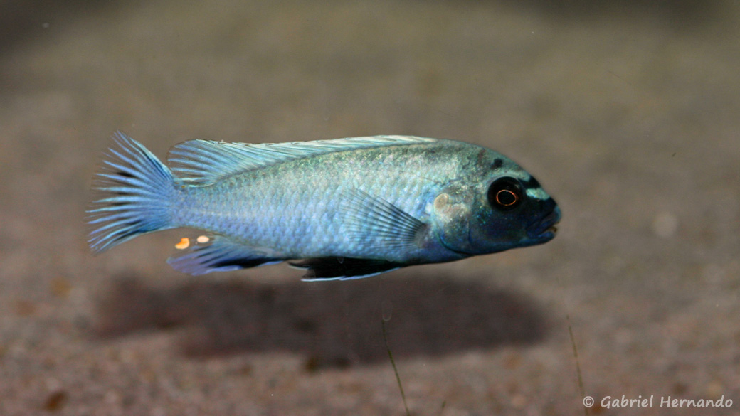 "Pseudotropheus sp. ""polit"" (Aquatreff, Meerbusch, Allemagne, mars 2011)"