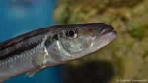 Ramphochromis esox (Aqua Treff, Meerbusch, février 2012)