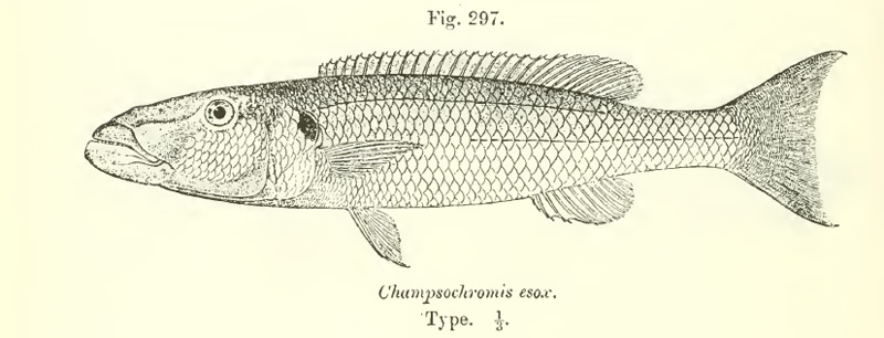 Gravure tirée de Boulenger, 1915 - Catalogue of fishes of Africa in the British Museum (p. 436)