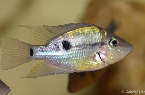 Thorichthys pasionis, variété de Catazaja, au Mexique (Hobby Zoo Tillman, Duisbourg, mai 2013)