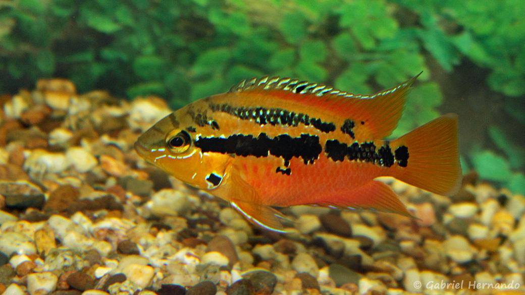 Trichromis salvini (Hobby Zoo Tillman, Duisbourg, mai 2014)