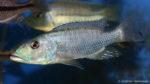 Tyranochromis macrostoma (Abysse, janvier 2009)