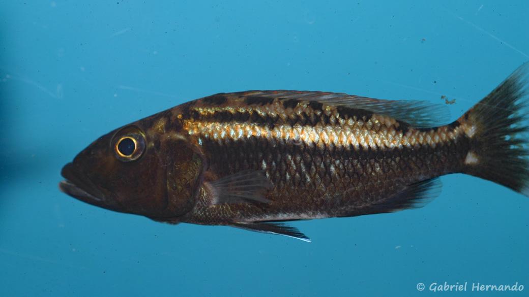 Tyranochromis macrostoma (Aqua Treff, Duisbourg, mars 2009)
